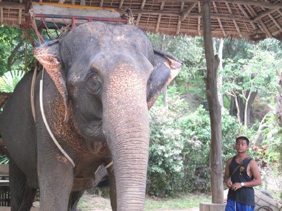 kok chang safari elephant trekking reviews